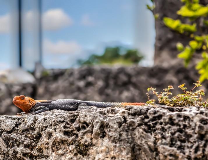Male African Rainbow Lizard (Agama Africana)